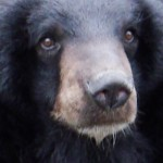 Vietnam: Celebrities Say No to Bear Bile in TV Campaign