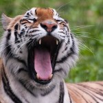 WikiLeaks Cable Reveals Chinese Tiger Farms Catering to Consumption, Not Conservation