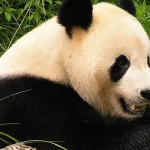 Malaysia's Imperiled Wildlife Snubbed, Gov't to Spend Millions on 'Panda Diplomacy'