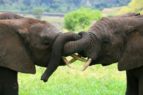 Central African Countries agree to strenghten efforts against China's insatiable appetite for ivory.