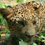 India: 356 Leopards Dead in 365 Days [Graphic Video]