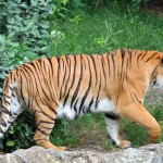 India: 10 Tiger Killers Arrested, Traps Confiscated