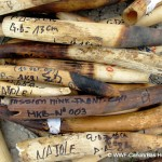 Gabon Destroys Over 5 Tons of Ivory in Support of Elephant Protection #gabonivoryburn