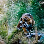 Global Efforts to Protect Tigers Undermined by China