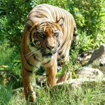 Indonesia: Bodies of 14 Sumatran Tigers Confiscated, Suspect Arrested