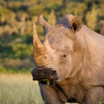 South Africa: Chinese National Gets 8 Years for Rhino Horn Possession