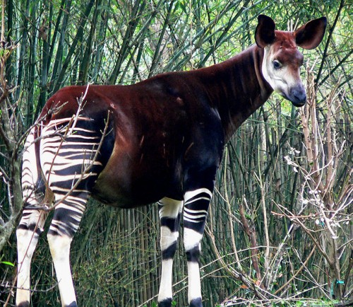 Ivory Gang Murders 7 People, 13 Okapi at DRC Wildlife Reserve ...