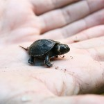 A Partnership to Protect North America's Tiniest Turtle