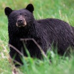 Virginia Resident Pleads Guilty to Trafficking Bear Gallbladders