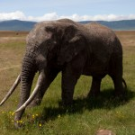 Thailand to List African Elephant as Protected Species