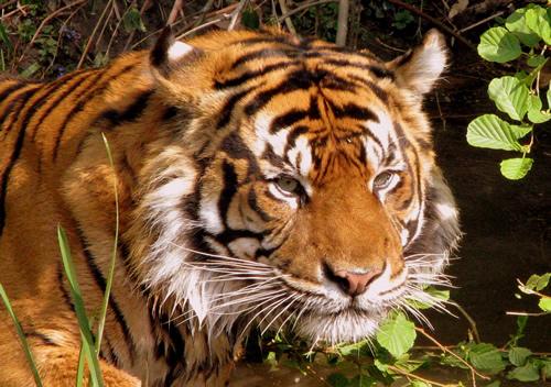 tiger essay kids