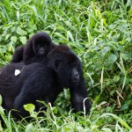 DRC: Rebel Forces Storm Virunga National Park, Mountain Gorillas Under Threat