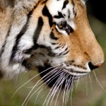 Tiger Population Increasing in Nepal [2012]