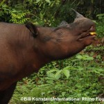 7 Sumatran Rhinos Photographed in Indonesian Forest