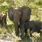 19 Elephants Killed in Botswana