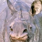 India: Five Rhinos Killed in Three Days