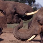 CITES CoP16: Tanzania Proposes Ivory Stockpile Sale & Reduced Elephant Protection