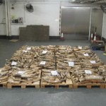 4 Tons of Ivory Seized in Hong Kong Arrived from Tanzania & Kenya
