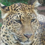 India: At Least Four Leopards Per Week Lost to Illegal Wildlife Trade