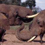 CITES CoP16: Tanzania Withdraws Proposal to Sell Elephant Ivory