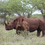 Update on U.S. Rhino Horn Trafficking Case 'Operation Crash'