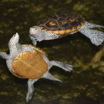 CITES CoP16: Record Number of Tortoises and Freshwater Turtles on the Agenda