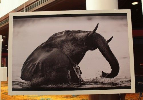 "This elephant print was part of the ""Wild and Precious"" exhibit at CITES CoP16. Meanwhile, the ridiculous debate about ivory continues."