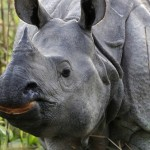 Both Good and Bad News for India's Rhinos