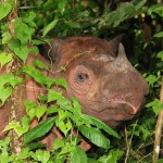 Grim News: Fewer Than 100 Sumatran Rhinos Remain