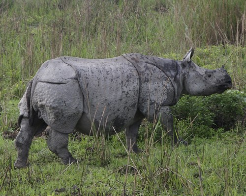 At least 26 greater one-horned rhinos have been killed in Assam during the first five months of 2013. Photo by Lip Kee from Singapore via Wikimedia Commons