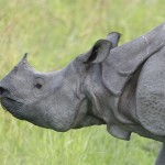 Nepal: Rhino Horn and Pangolin Smugglers Arrested
