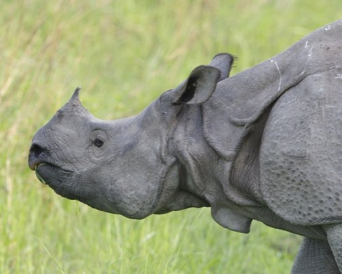 A total of 12 wildlife traffickers were arrested in Nepal in a span of just a few weeks. Photo By Lip Kee from Singapore, Republic of Singapore (Rhino female) [CC-BY-SA-2.0 (http://creativecommons.org/licenses/by-sa/2.0)], via Wikimedia Commons
