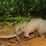 Inaugural 'Scaling Up Pangolin Conservation' Conference Held in Singapore