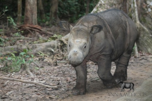 Andatu was born at the Sumatran Rhino Sanctuary in Indonesia on June 23, 2012. Photo © Annamiticus