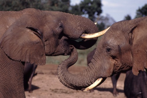 President Obama's new initiative to combat wildlife trafficking will kick off in Tanzania. Photo by John Storr via Wikimedia Commons