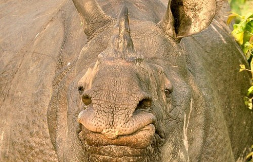 There is concern for the safety of NGO staff and rhinos in Manas National Park. Photo by Sumantbarooah via Wikimedia Commons