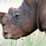 A Closer Look at South Africa's 'Rhino Horn Plan'