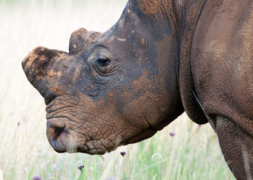 John M. Sellar, former CITES Chief of Enforcement, shares his observations of South Africa's rhino horn plan. Photo: iStockphoto