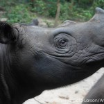 Malaysia Steps Up Its Commitment to Increase Sumatran Rhino Numbers