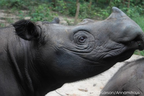 Critically endangered Sumatran rhinos number fewer than 100. Photo © Rhishja Cota-Larson/Annamiticus