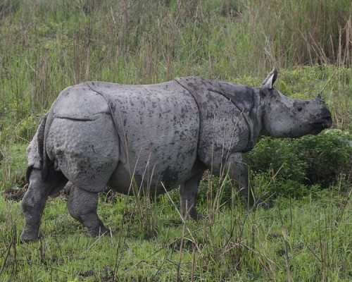 A local volunteer is suspected of killing a rhino in Manas National Park. Photo By Lip Kee via Wikimedia Commons