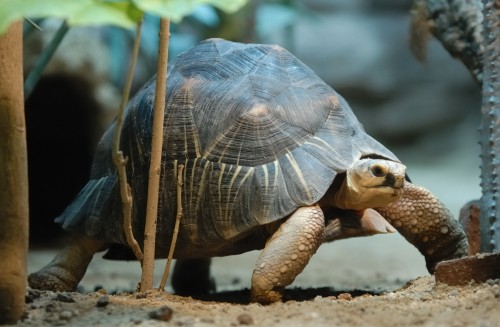 More than 1,400 Critically Endangered radiated tortoises have been confiscated in 2013. Photo By Jochen Jansen via Wikimedia Commons
