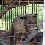 Kopi Luwak off the Shelves as 'Civet Farming' Conditions Revealed [Photos]