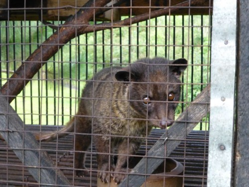 Many farms that keep caged civets label their coffee as 'wild sourced'. Photo courtesy & © PETA Asia