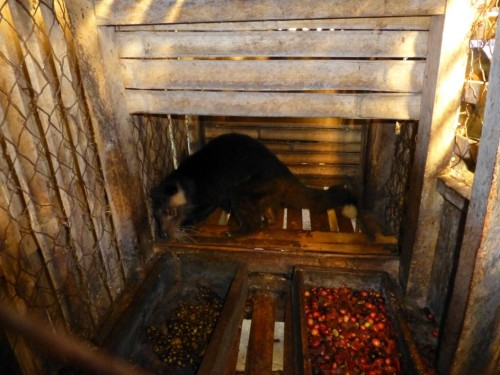 One farmer compared the captive civets' diet of addictive coffee beans to smoking in humans; over time, they become deficient in nutrients. Photo courtesy & copy; PETA Asia