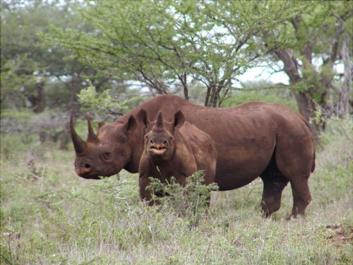 New York antiques dealer Qiang Wang was sentenced to three years and one month in prison, followed by three years of supervised release, for his role in rhino horn and ivory trafficking. Photo: Karl Stromayer / USFWS
