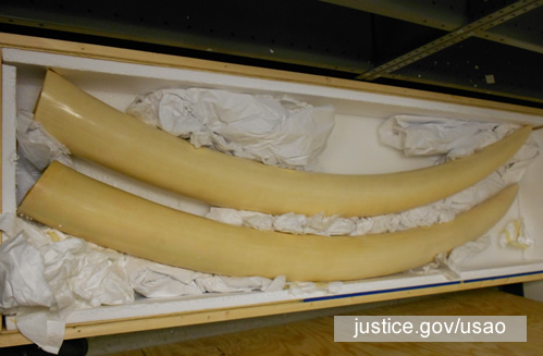 "Li facilitated the smuggling of elephant tusks to China, falsely labeled as ""automobile parts"". Photo: justice.gov/usao"