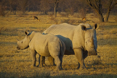 John M. Sellar, O.B.E., former Chief of Enforcement for CITES, weighs in on South Africa's bid to trade in rhino horns. Photo by Hein Waschefort via Wikimedia Commons