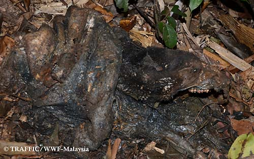 The rotting Sun Bear carcass was found with a limb still caught in a snare.  PHOTO © TRAFFIC - WWF Malaysia