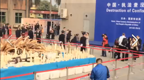 On January 6, 2014, China destroyed six tons of confiscated ivory.  Screenshot via Hong Kong for Elephants
